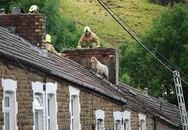 Hy hữu chuyện giải cứu chú cừu trên mái nhà cao tầng