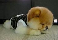 Xôn xao về chú chó Boo tuyệt đẹp