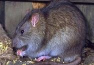 Ấn Độ: Đau đớn chuột cắn đứt 'của quý'