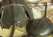Trúng độc do ăn So biển, một người tử vong