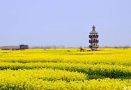 Đẹp lung linh cánh đồng hoa cải vàng ở Giang Tô