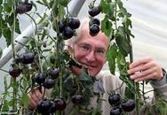 Cà chua đen có khả năng chống ung thư