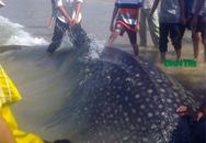 Hai giờ vật lộn bắt cá lạ nặng gần 400kg