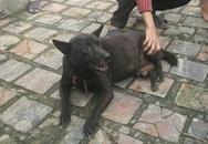 Xôn xao chuyện chó đực đẻ con ở Nghệ An