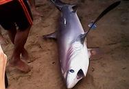 Lần đầu tiên cá mập trắng dạt vào bãi tắm Nha Trang
