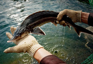 Hại đủ đường từ cá tầm nhập lậu