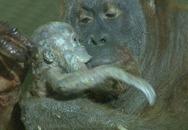 Cảm động trước khao khát làm mẹ của chú đười ươi bị vô sinh