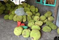 Bị đồn mít nhúng thuốc Trung Quốc, nông dân thiệt hàng tỷ đồng