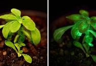 Cây tự phát sáng trong bóng tối được trồng thành công