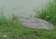 """""""Cụ"""" rùa hồ Gươm nằm phơi nắng hơn 1 tiếng"""