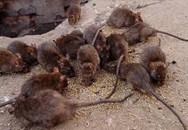 Bị lên án vì nhân giống hàng ngàn con chuột