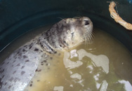 Ngư dân Đà Nẵng bắt được con hải cẩu quý hiếm