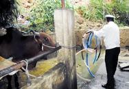 Ngăn chặn tình trạng bơm nước vào gia súc trước khi giết mổ