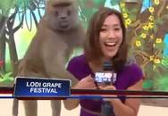"""Nữ phóng viên bị khỉ """"sàm sỡ"""" khi dẫn chương trình trực tiếp"""