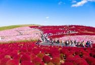 Ngất ngây 4 mùa ở thiên đường hoa Hitachi