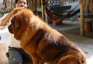 Đại gia cưng chó Ngao như con