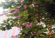Ngắm hoa rừng Tây Bắc rực rỡ giữa thủ đô