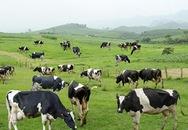 Tour du lịch... vắt sữa bò ở Việt Nam