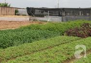 Rau trái mùa: Sản phẩm 'công nghệ' phun hóa chất