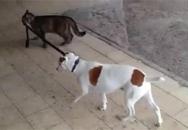 Hài hước clip mèo dắt chó về nhà
