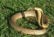 Ở nơi cả làng nuôi rắn hổ mang độc