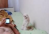 Chú mèo nghiêm trang chào cờ khi nghe thấy Quốc Ca