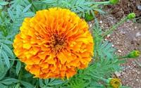 Hoa cúc vạn thọ có khả năng kháng virus HIV và ung thư