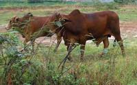 Đi chăn bò, bé gái 11 tuổi bị gã hàng xóm giở trò đồi bại