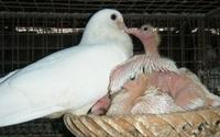 """Dùng trứng giả giúp bồ câu """"vỡ kế hoạch"""" đẻ 30 lứa/năm"""