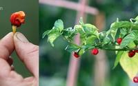 Một đầu bếp đã trồng được cây ớt cay đến mức có thể hạ gục một người lớn
