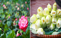 Bộ sưu tập hoa sen