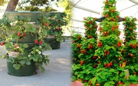 Học cách trồng dâu tây trong tháp cực đơn giản cho quả sai trĩu