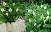 Cây lan ý đứng đầu danh sách cây lọc độc tố, bụi bẩn, bức xạ,... nhà nhà muốn trồng