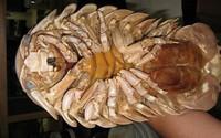Bọ biển khổng lồ 4 triệu/con: Món nhậu lạ của dân Hà thành