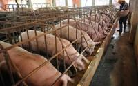 Vẫn ế hơn 1,5 triệu con lợn chờ giải cứu
