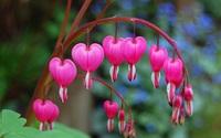 Mê mẩn trước vẻ quyến rũ của loài hoa tuyệt đẹp nhưng mang dáng hình trái tim tan vỡ