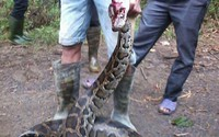 Dân vây bắt 2 con trăn 'khủng', dài hơn 5m cuộn tròn trong ruộng mía
