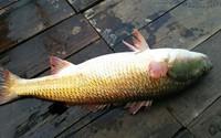 Câu được cá sủ vàng tiền tỷ: Định cho vào nồi nhậu