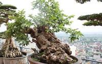 Đại gia Việt vung triệu đô mua cây ổi, cây sung, cây tùng để chứng tỏ độ