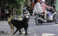 Hà Nội: Không mất tiền thì mất chó nếu cứ… thả rông