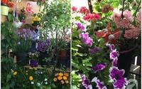Bất ngờ với ban công chưa đầy 2m² nhưng dâu tây sai trĩu cành, hoa tươi thơm ngát