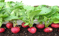 Tự trồng củ cải đỏ ngọt thơm tại nhà cho bữa ăn ngon thêm sạch