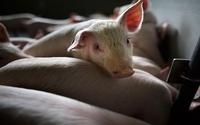 Phôi thai loài lai người - lợn được tạo thành công