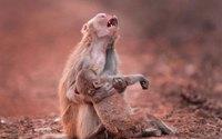 Khỉ mẹ nghẹn ngào ôm xác con