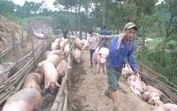 Trung Quốc mua gom thịt lợn: