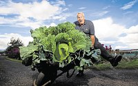 Không cần bón phân, ông lão trồng được bắp cải khổng lồ, có thể nấu 300 bát canh