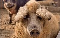 Loài lợn trông giống cừu có thịt ngon ngang ngửa thịt bò Kobe