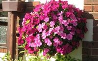 12 loài hoa khiến ban công nhà bạn