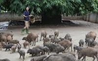 Thầy giáo thu 800 triệu mỗi năm nhờ nuôi lợn bán hoang dã