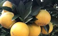 Độc nhất vô nhị: Một cây cam Vinh 'vỡ kế hoạch' có 1.000 quả